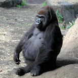 gorilla at ueno zoo in Ueno, Tokyo, Japan