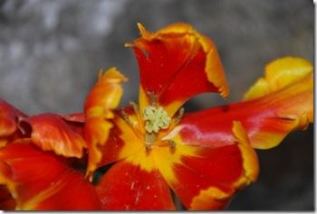 tulipa DSC_0391DSC_03977
