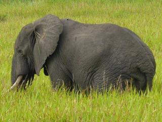 F Elephant