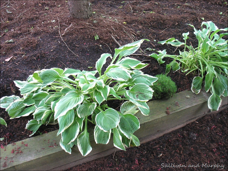 hosta, irish moss