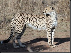 October 18 2012 Mother cheetah