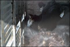 calves in trailer 1