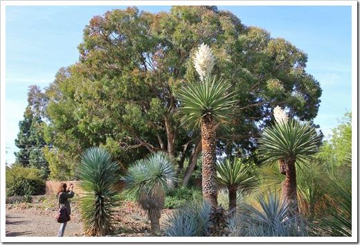 130413_RBG_Yucca-carnerosana_08