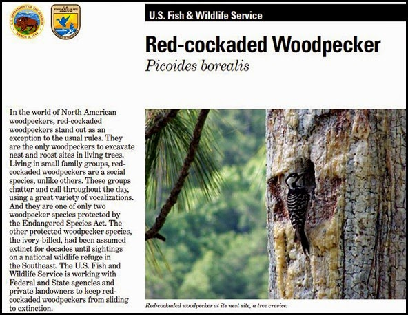 00 - Red-cockaded Woodpecker
