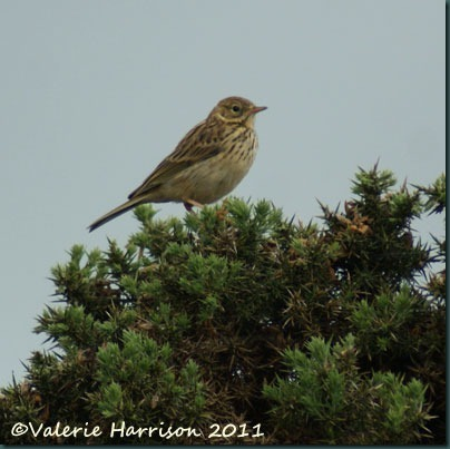 11-meadow-pipit