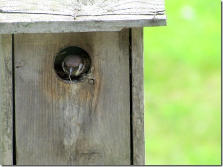Sparrow06-12-11a