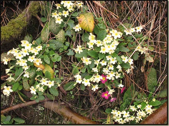 Primroses in Barley
