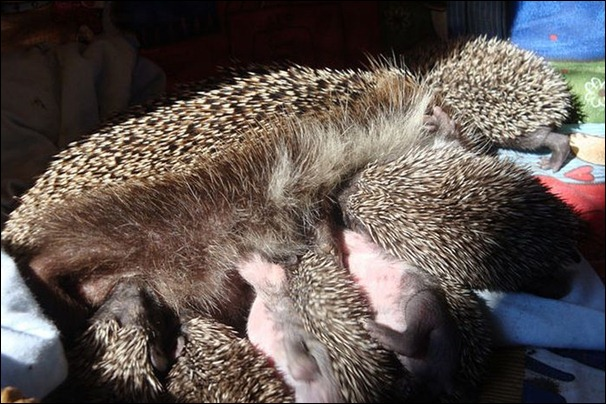 hedgehog (7)
