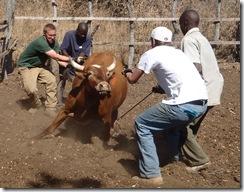 cattle wrestling