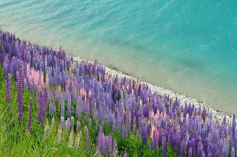 flowering of lupins in lake tekapo, new zealand  amusing planet, Natural flower