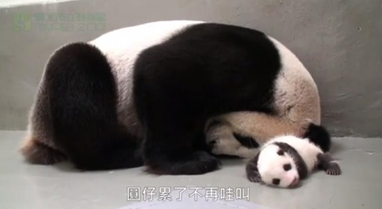 Bebê Panda Gigante 08