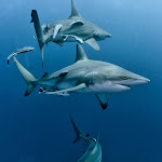 Oceanic black tip sharks