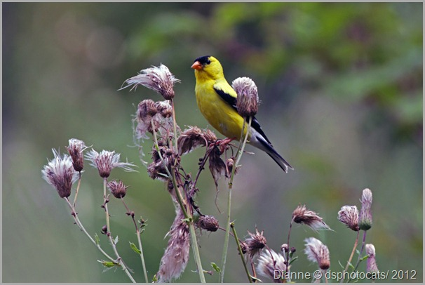 IMG_6392 Yellow Goldfinch