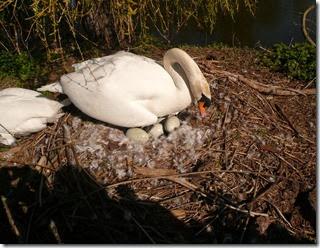 nesting swan (1)