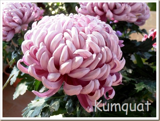crisantemo turner 2