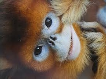 Amazing Pictures of Animals, photo, Nature, exotic, funny, incredibel, Zoo, Myanmar snub-nosed monkey, Alex (12)