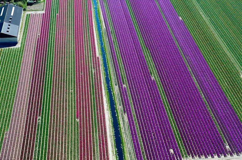 tulip-field-3