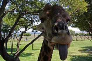 Pulling tongues, Giraffe, Lion Park Johannesburg