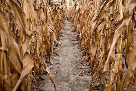 [corn-drought%255B4%255D.jpg]