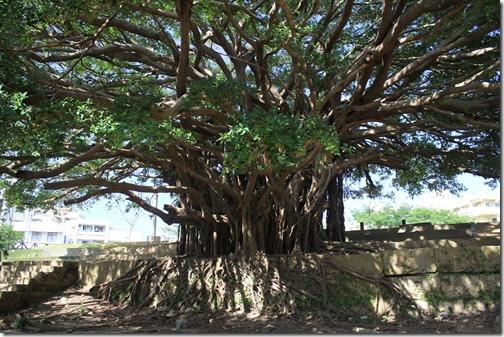 Okinawa 078 tree at sogen-ji park