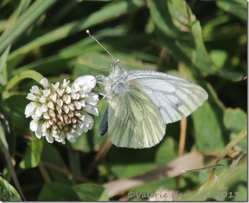 42-green-veined-white