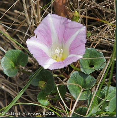 16-Sea-Bindweed