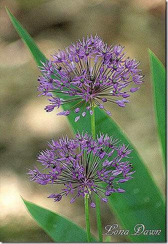 Allium_PurpleSensation