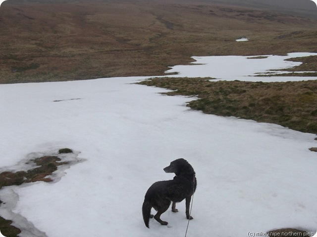 bruno checks for rivals before eating this snowpatch