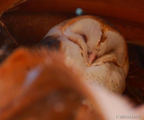 10. barn owl-kab