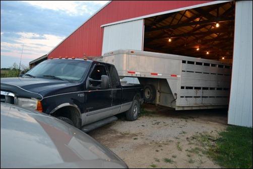 calves in trailer