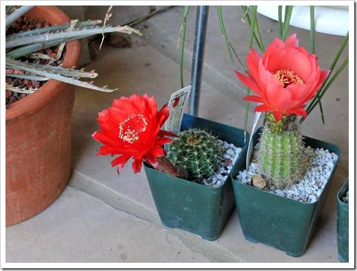 130519_Echinopsis-huascha-rubriflora- -Johnson-hybrid_04