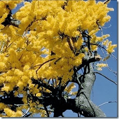 nuytsia-floribunda pic 1