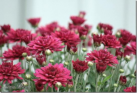 Chrysanthemum_Beth_Violet