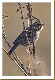 - Savannah Sparrow D7K_9054-Edit November 18, 2011 NIKON D7000