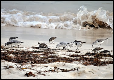 03l - Wildlife - Shorebirds