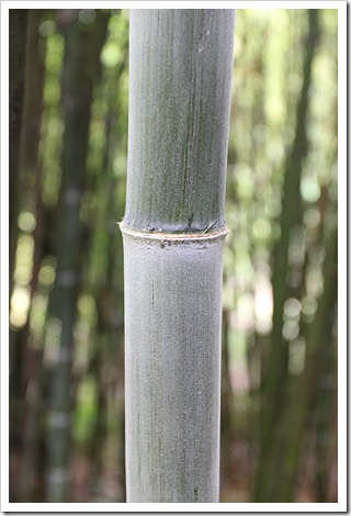110711_Phyllostachys_edulis