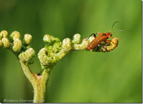 6-soldier-beetle