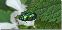 Dead nettle leaf beetle Chrysolina fastuosa (1)