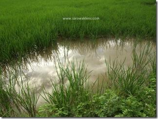 Bakalalan_rice_field_sawah_padi_5