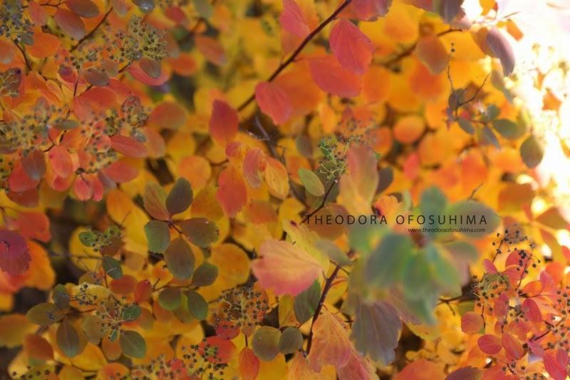 theodora ofosuhima autumn bush