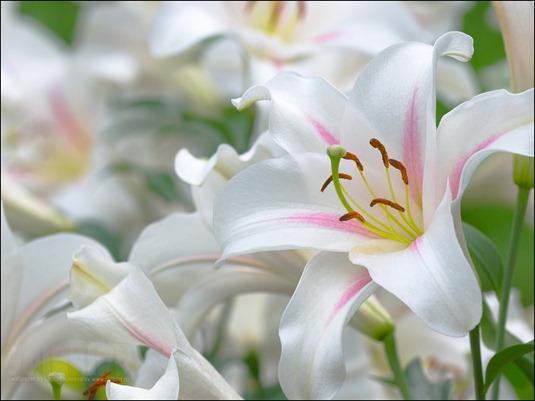FlowersOnDesktop.com_000292