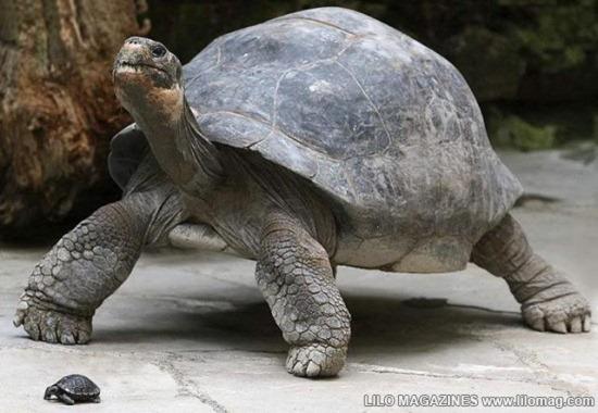Giant Tortoise 01