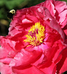 Tht busy bumble bee is having a good time with this peony.