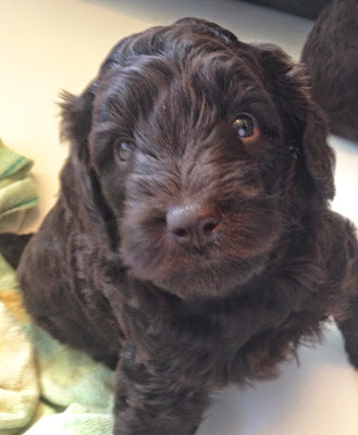 chocolate labradoodle pup