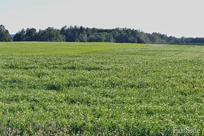 Pea Field Oats in the distance