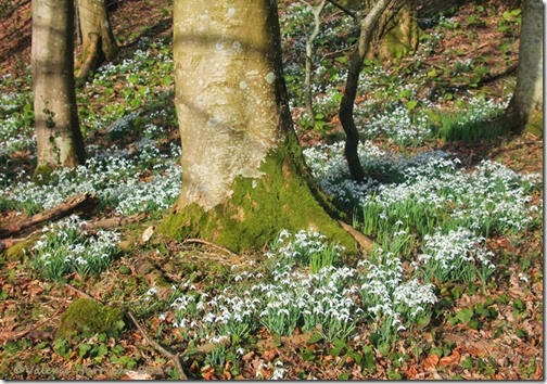 15-snowdrops-Ardwell