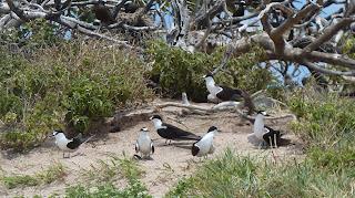 Sooty Terns, manche machen den Gebrochener-Flügel-Bluff.