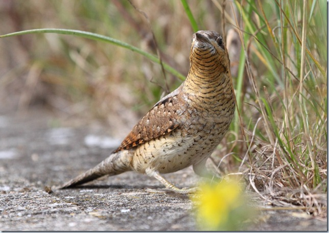 wryneck6