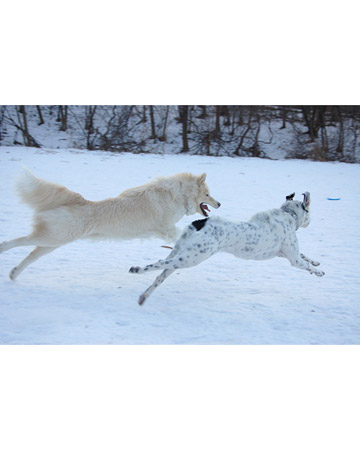 Silver white winter...  Yukon and Jake - Minneapolis, Minnesota.