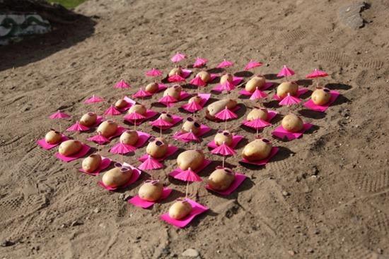 Batatas de Peter Pink 14